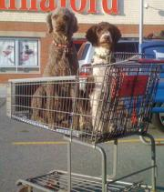 Two poodles in shopping cart